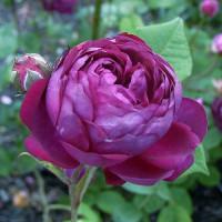 Rosier Cardinal de Richelieu