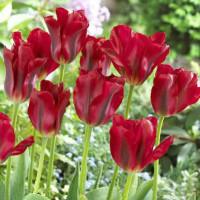 Tulipe Red Spring Green
