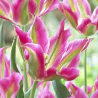 Tulipe Virichic