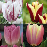 Assortiment de tulipes triomphes