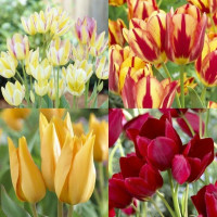 Assortiment de tulipes pluri-flores
