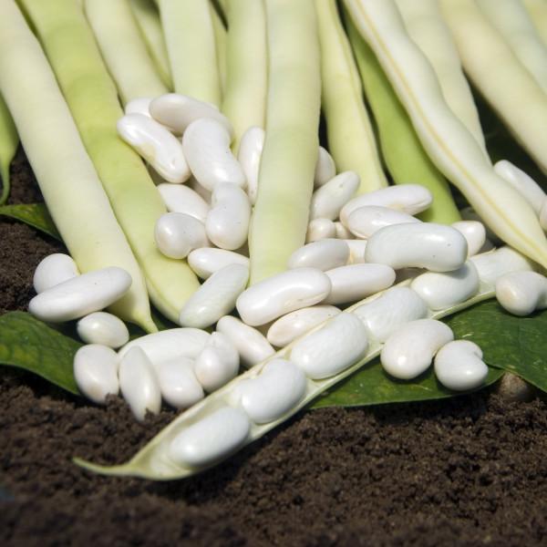 Haricot hidalgo type mogette la bonne graine - Semer les haricots avec la lune ...