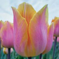 Tulipe Jenny