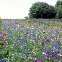 """Prairie fleurie """"Miellée Annuelles et Vivaces"""""""