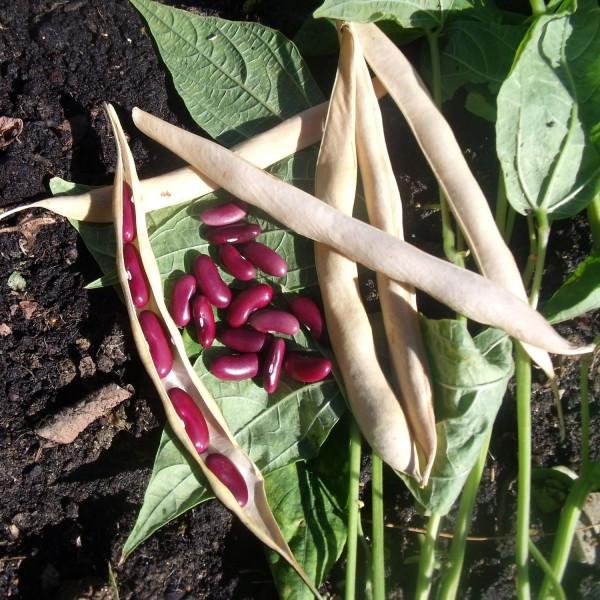 Haricot sombrero grain rouge la bonne graine - Planter des haricots nains ...