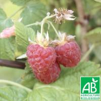 Plant de framboisier Bois Blanc Bio