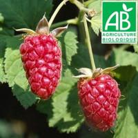 Plant d'hybride de mûres Loganberry Bio