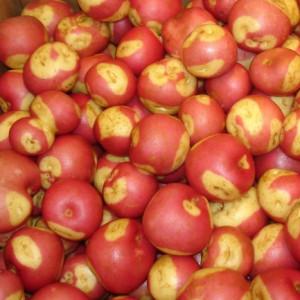 Pomme de terre miss blush la bonne graine - Variete de pomme de terre ancienne ...
