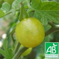 Tomate Raisin Vert Bio
