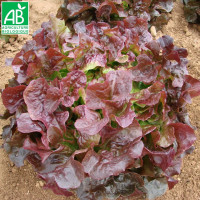 Laitue Red Salad Bowl Bio