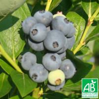 Plant de Myrtillier Darkeley Bio