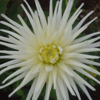Dahlia White Princess