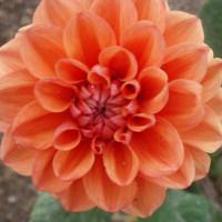 Dahlia Orange Nugget