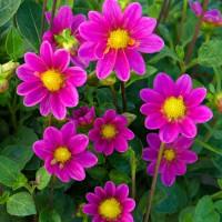 Dahlia Topmix Rose