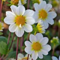 Dahlia Topmix Blanc