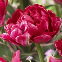 Tulipe Eternal Flame