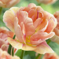 Tulipe Orange Angélique