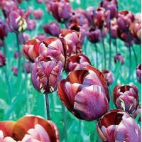 Tulipe Absalon