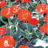 Tulipe Rex Rubrorum