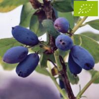 Chèvrefeuille comestible 'Edulis' Bio
