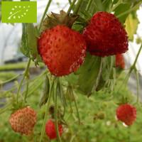 Plant de fraisier des bois Bio Reine des Vallées (godet)