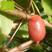 Kiwaï femelle à fruits rouges longs Bio