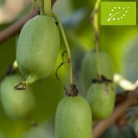 Kiwaï femelle à fruits verts longs Bio