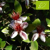 Feijoa ou Goyavier du Brésil Bio