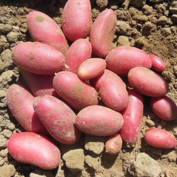 Pomme de terre cerisa la bonne graine - Variete de pomme de terre ancienne ...