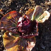 Chicorée rouge de Vérone