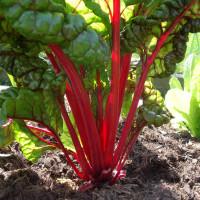 Poirée Rouge Rhubarb Chard