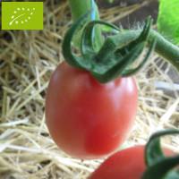 Tomate Rose de podlaki Bio
