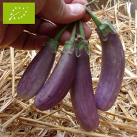 Aubergine Pusa Purple Cluster Bio