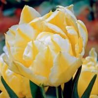 Tulipe No Risk