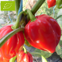 Piment Antillais Bio