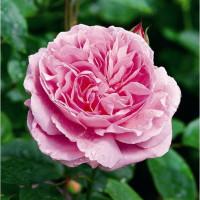 Rosier Mary Rose