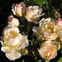 Rosier Cristalyne ®