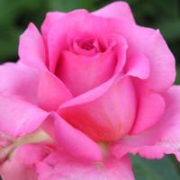 Rosier Marie-Ange Nardi ®