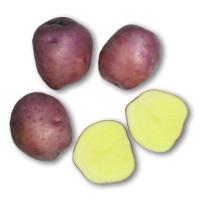 Pomme de terre Koopman's Blauwe