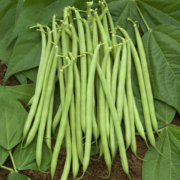 Haricot castandel la bonne graine - Variete de haricot vert ...
