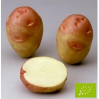 Pomme de terre Oeil de Perdrix (King Edward VII) BIO
