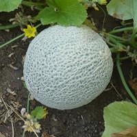 Melon Sucrin de Tours bio