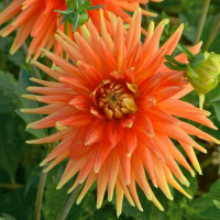 Dahlia Gold Orange