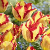 Tulipe Burning Calgary