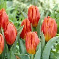 Tulipe Frohnleiten