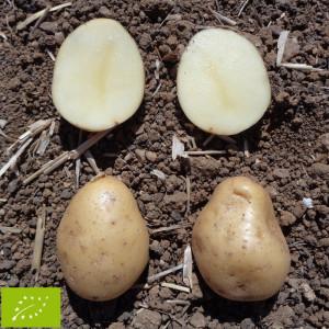 Pomme de terre kerpondy bio la bonne graine - Variete de pomme de terre ancienne ...