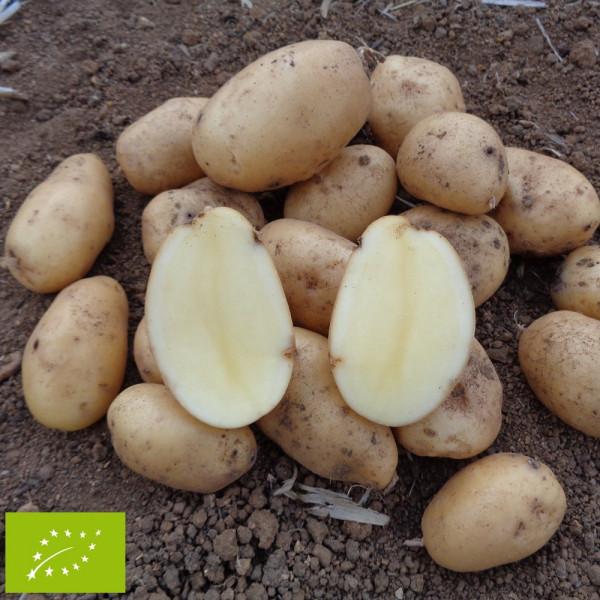 Pomme de terre agria bio la bonne graine - Tableau pomme de terre varietes ...