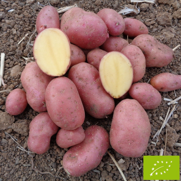 Pomme de terre cheyenne bio la bonne graine - Variete pomme de terre rouge ...