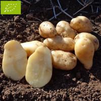 Pomme de terre Linzer Delikatess BIO
