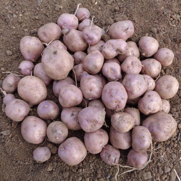Pomme de terre bleue d 39 auvergne la bonne graine - Variete de pomme de terre ancienne ...